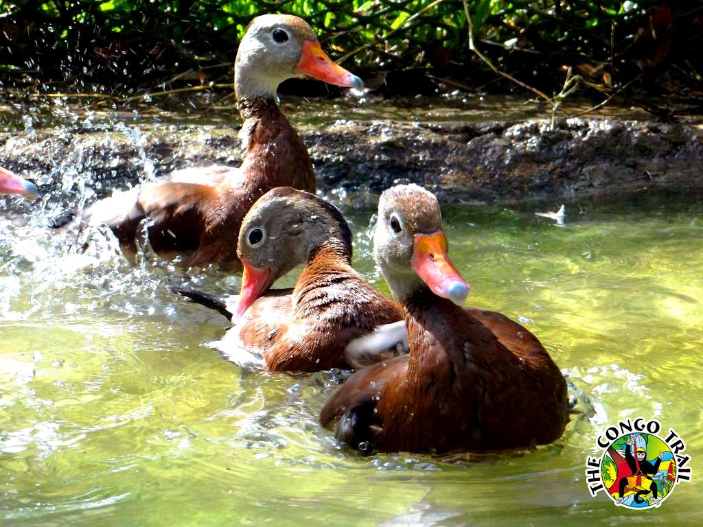 66 Ducks.jpg