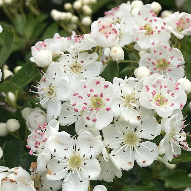 Blackthorn or May #timetostareresidency #liftsthespirits #spring
