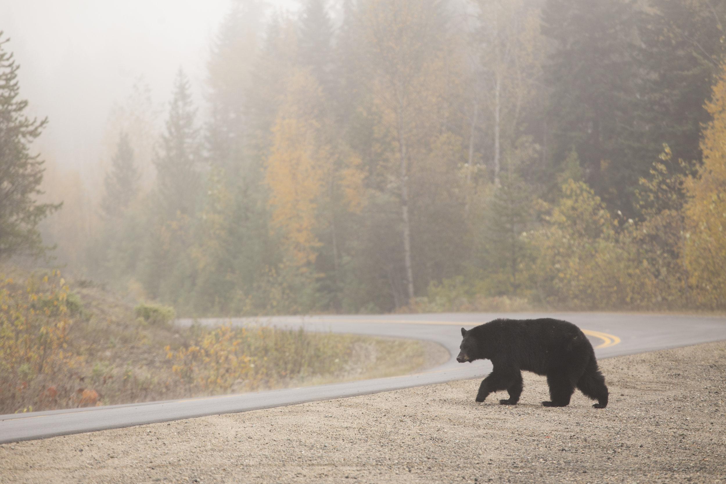 Bear crossing in Wells Gray Park Photographer: Matt Ferguson