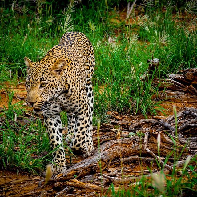 I've never held my breathe like I did when this leopard was 2 feet away from me.  This one is a young male leopard and his paws were the size of Big Macs.  I took this photo whilst holding my breathe 😂  It was absolutely amazing.  Thrilling, with a side of holy $hit.  So beautiful!!! Next safari starts at 0500. The last 24 hours here have been so enlightening and absolutely beautiful!  #southafrica #lionsandsgamereserve #krugernationalpark #nationalpark #africa #safari #gamereserve #gamedrive #lumix #olympus #travel