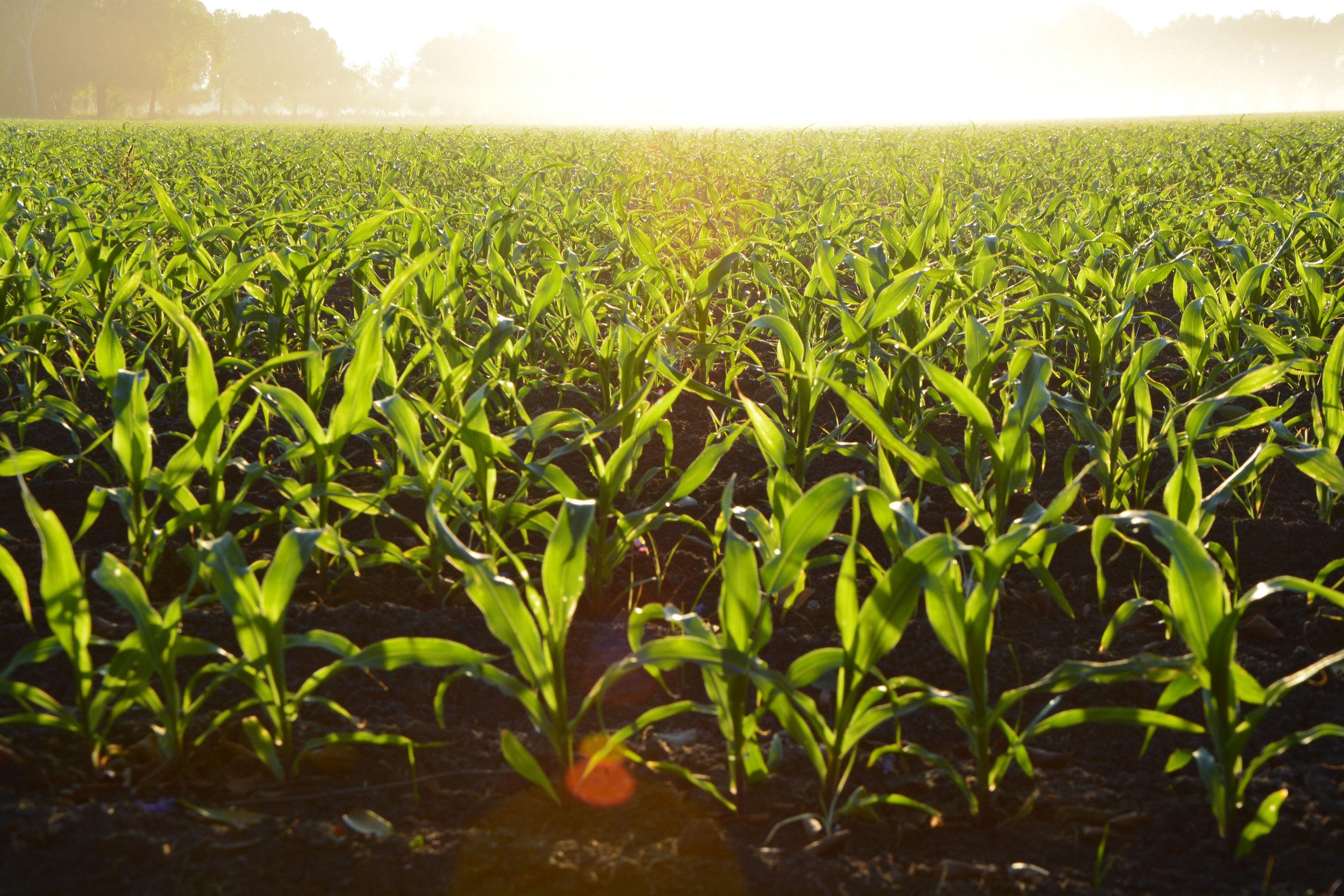 food crop.jpeg