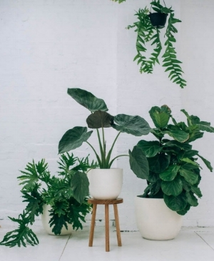 https://www.popandscott.com/   These plants add drama to a space and create a striking focal point as they infuse living energy into the room.