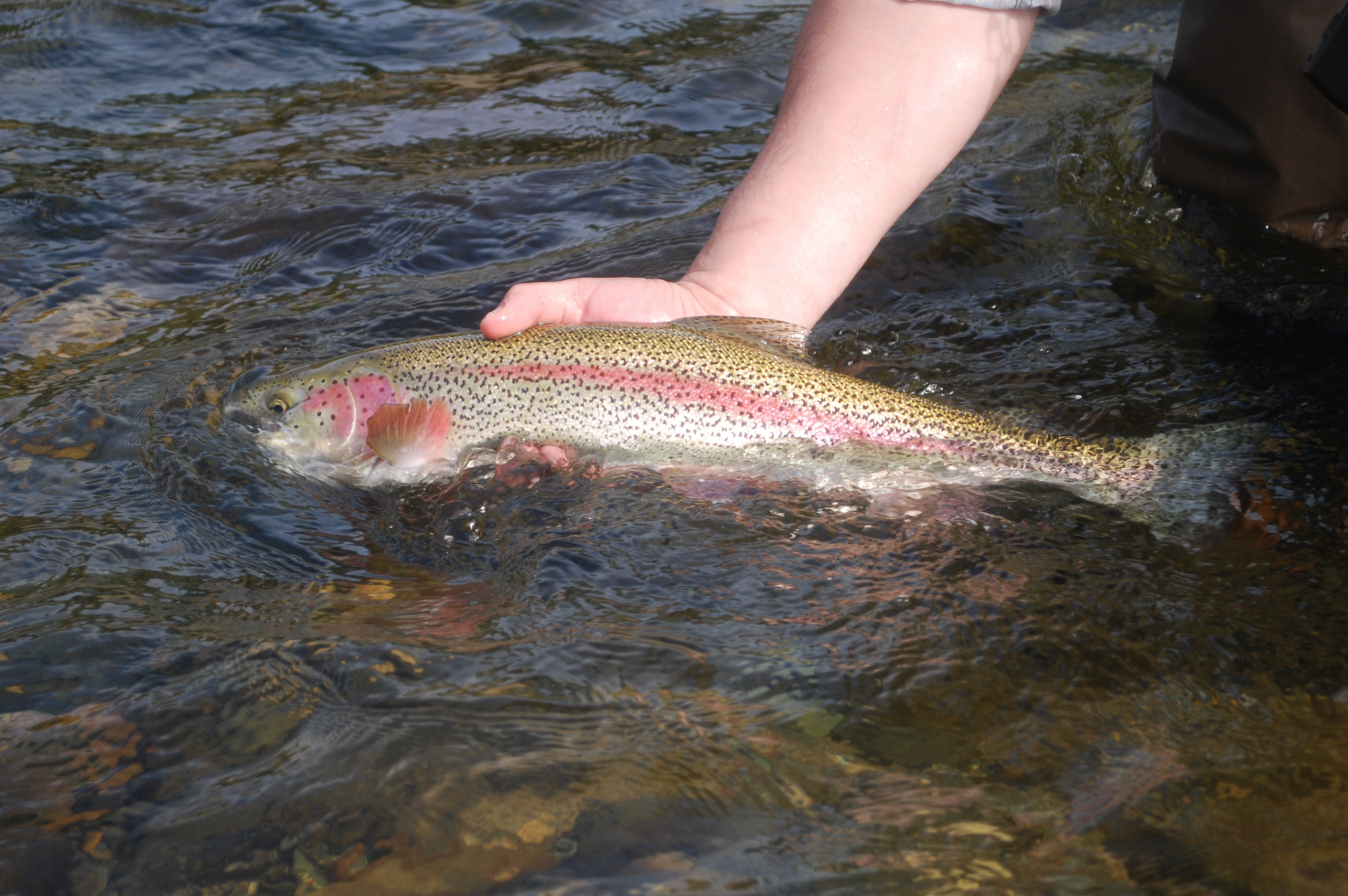 The author releasing a Susitna tributary rainbow trout. Photo: Ben Rowell