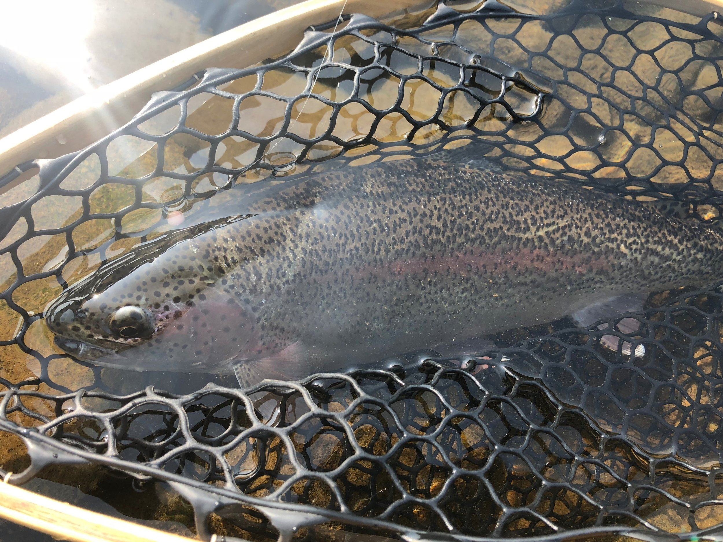 """Matching the hatch"" with a bead to mimic salmon eggs led to this nice rainbow trout being brought to the net."