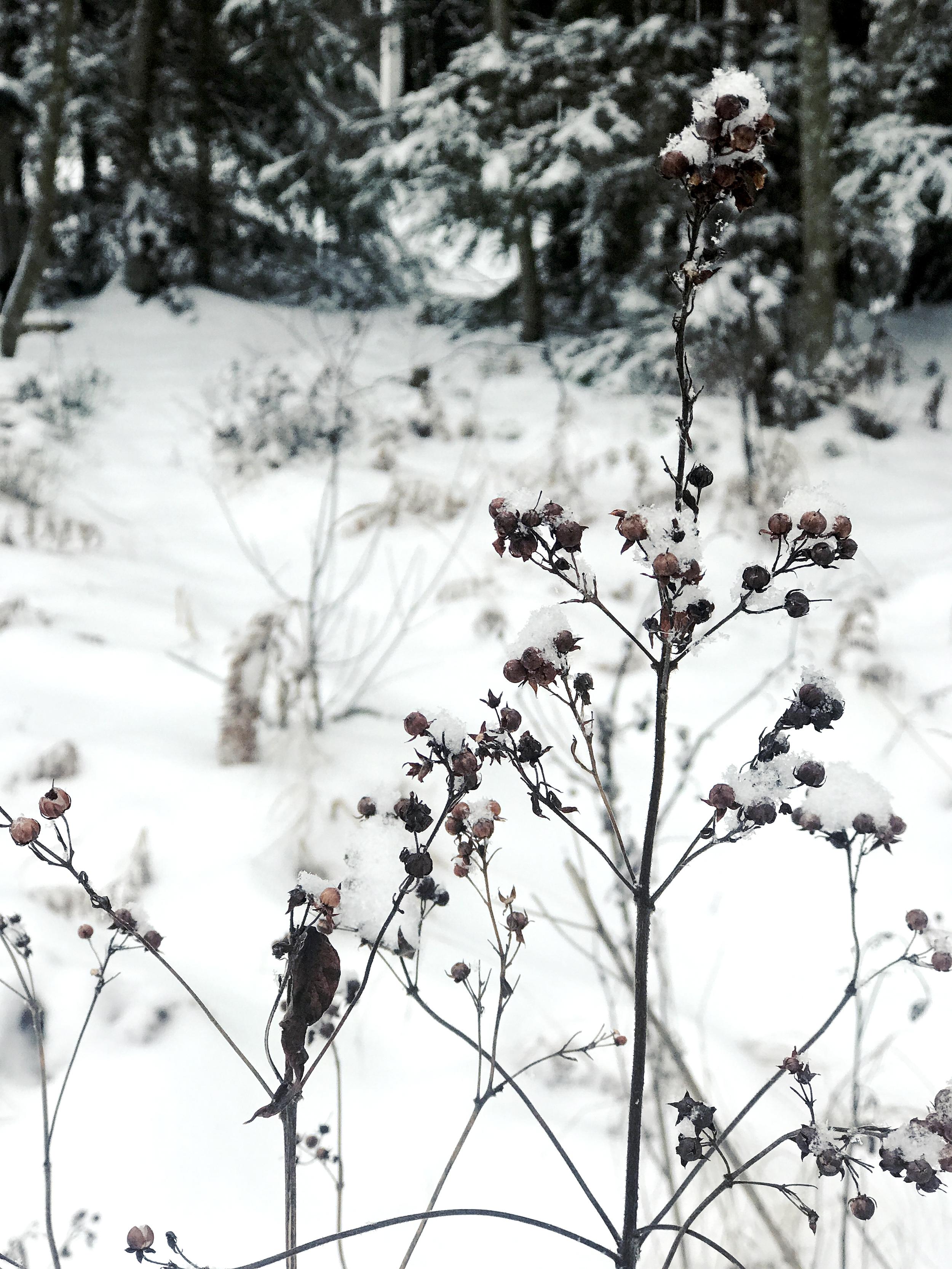 Etelä-Savo, joulukuussa 2018. Lepäilevät risut eivät vaikuttaneet huolestuneilta siitä, tuleeko vielä kevät.