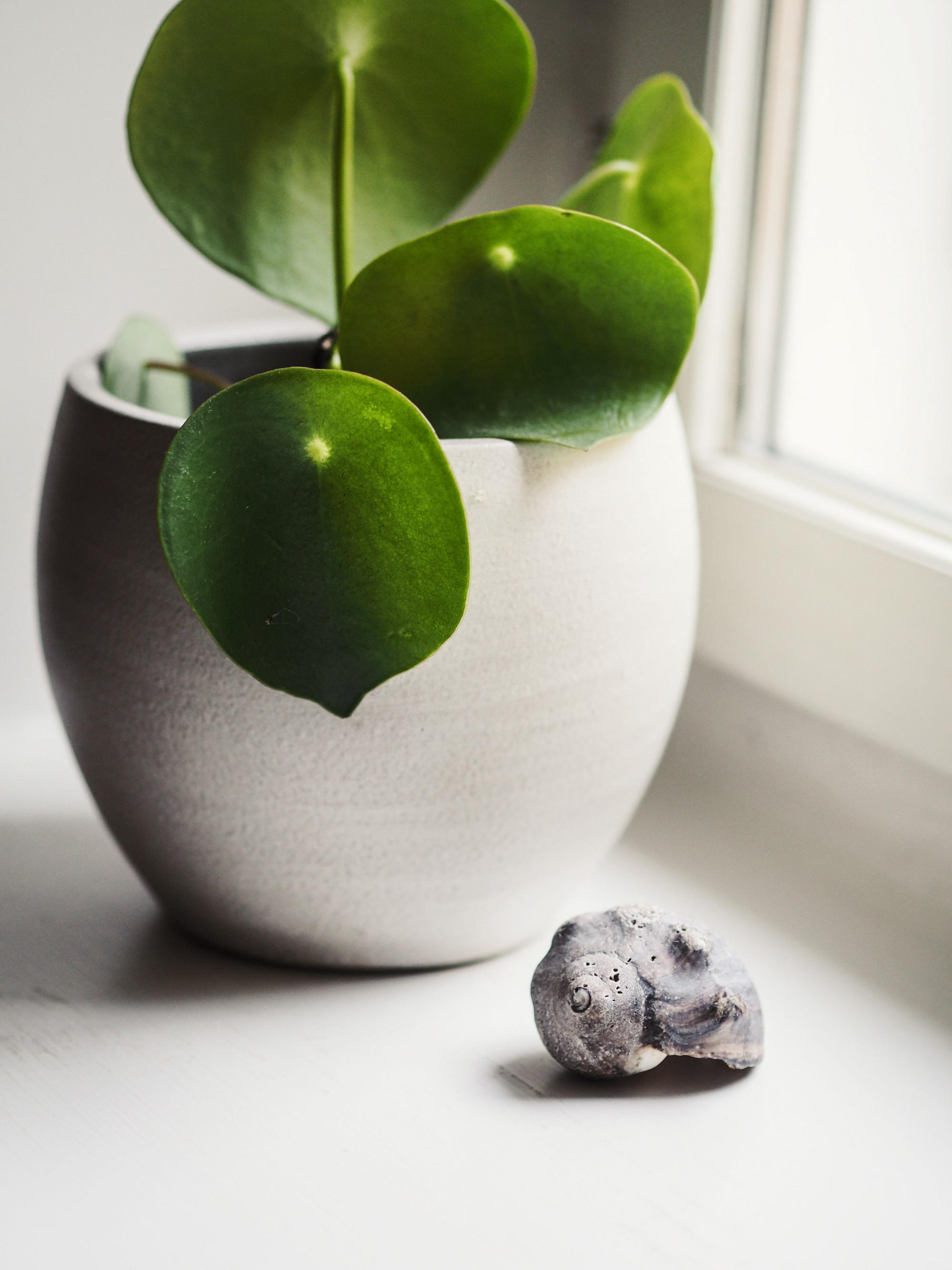 Muorinkukan lehdet ovat pyöreät, pehmeät ja muistuttavat vähän sydäntä - erinomainen valinta makuuhuoneeseen.