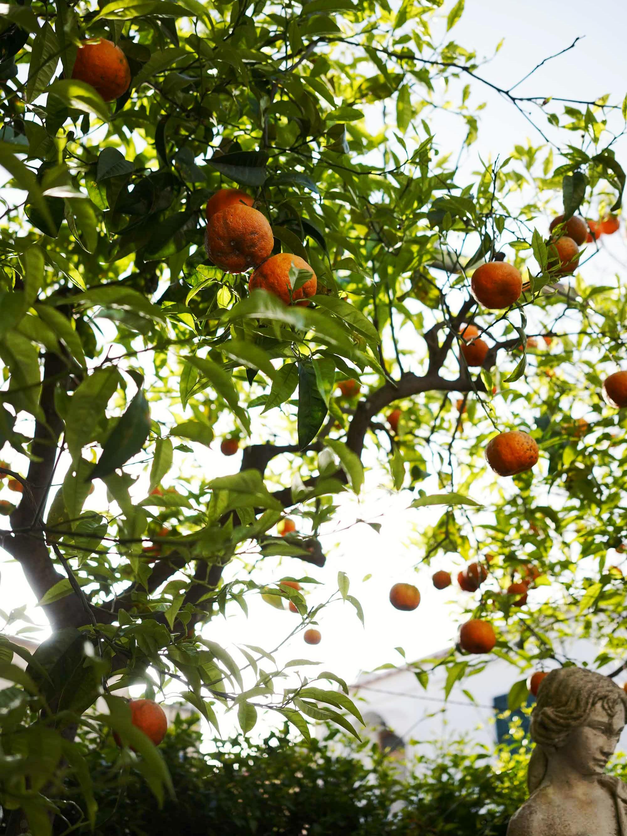 Appelsiinipuita Caprilla, huhtikuussa 2019.