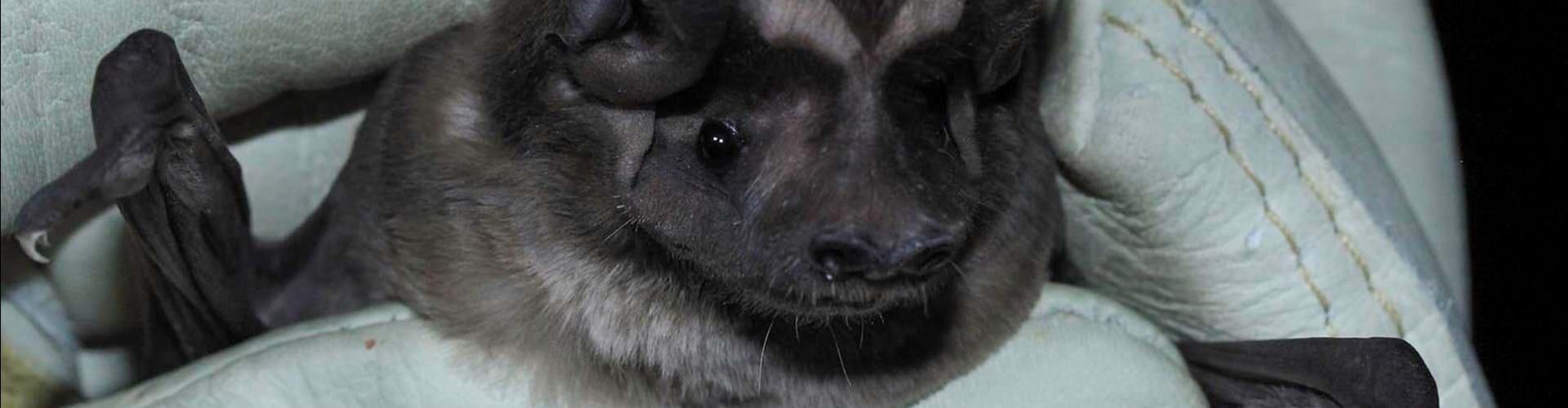 The Florida Bonnetted Bat –– Eumops floridanus