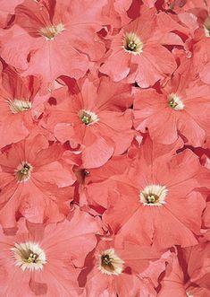 c7825a7cb174b0a9e8bb39413f6347ad--petunia-flower-coral-blush.jpg