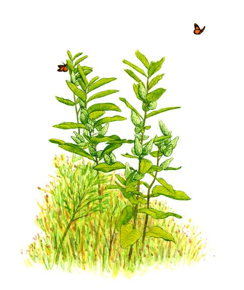 milkweedplants.jpg