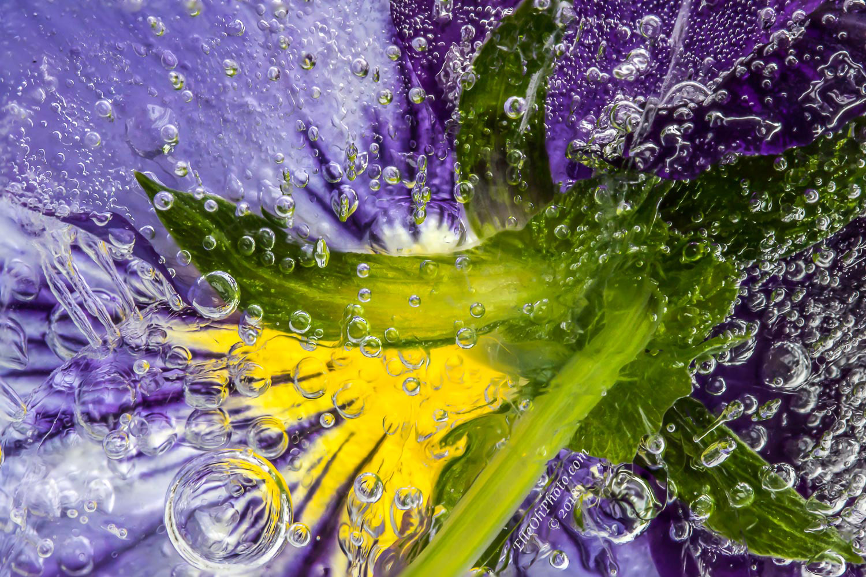 WEB watermark 6730-9 Purple Yellow Pansy 1500 px.jpg