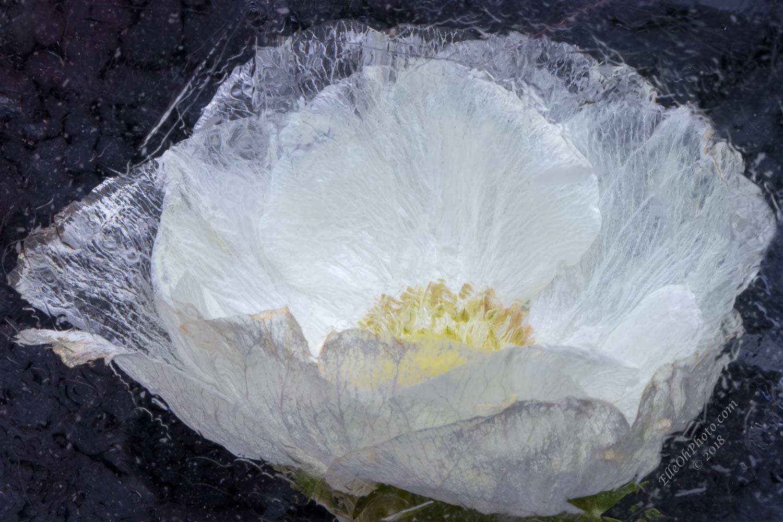 WEB watermark 7503 White Anemone Black BG1500 px.jpg