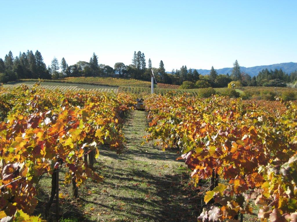 Vineyard in fall