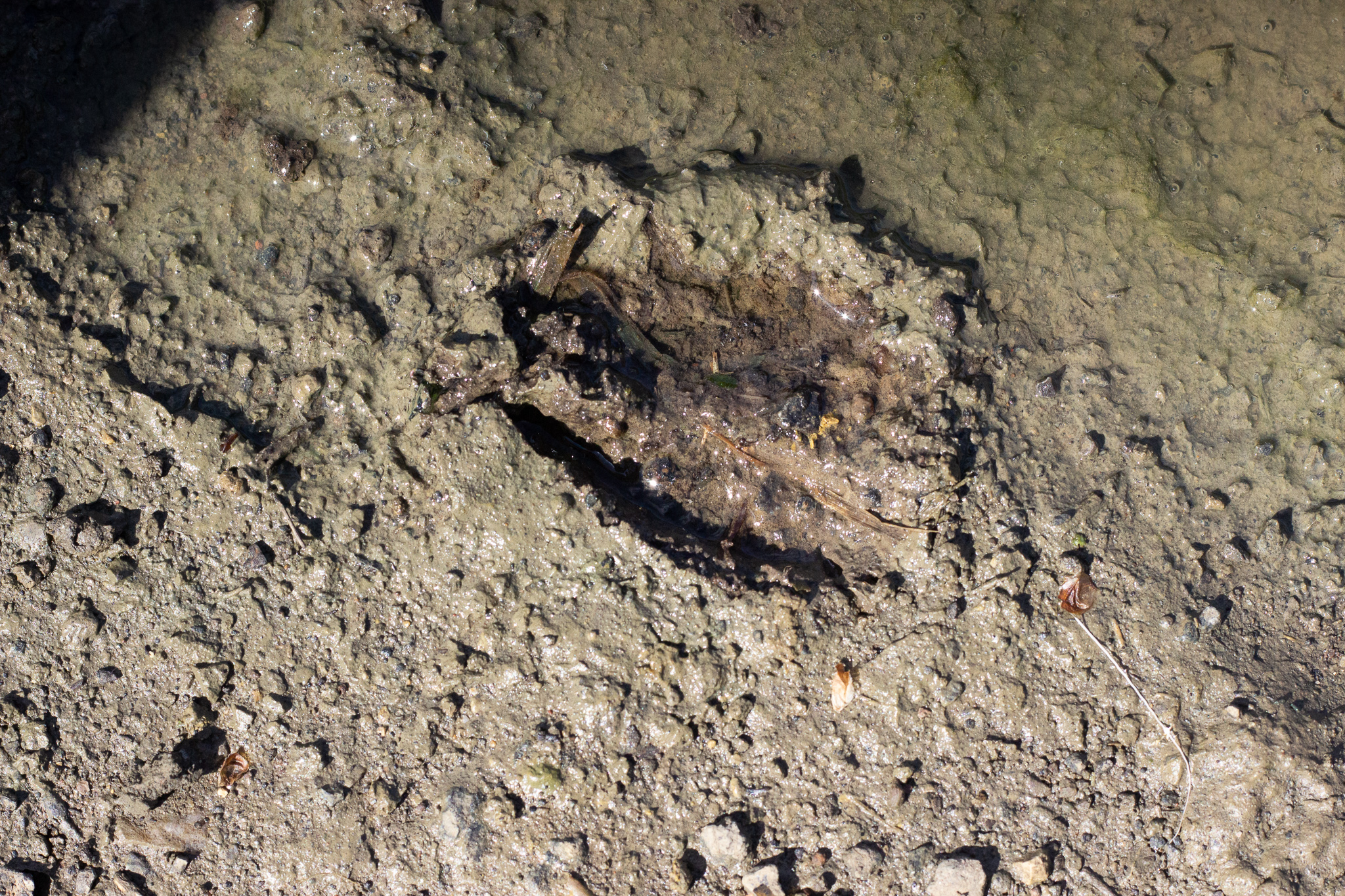 I spy a footprint………it's a deer hoof!