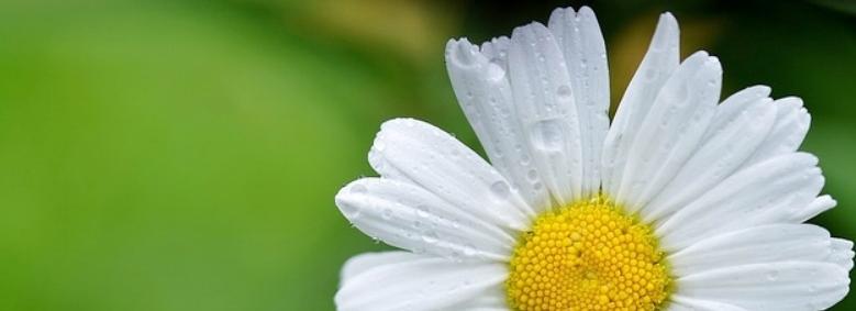 daisy-144677_640.jpg