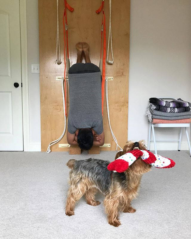 Though Herbie stole the spotlight, in the background you can see @johnysconcklin recovering from spending June on the road with spinal traction on the rope wall. This is called bat hang; it feels as good as it looks. I should probably just make this a #yogawithdogs page.  #yogaformusicians #herbiethesilky #backcare #yogaforbackpain #yogaalignment #iyengaryoga #greenvilleyogis