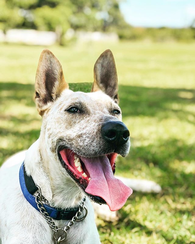 How is Jake still waiting for a home? — It's time to share his face and find him that perfect place (excuse my rhyming) — Tag someone who could use a best mate ! — #rescueyourfitness #adoptdontshop #adoption #rescuedog #dog