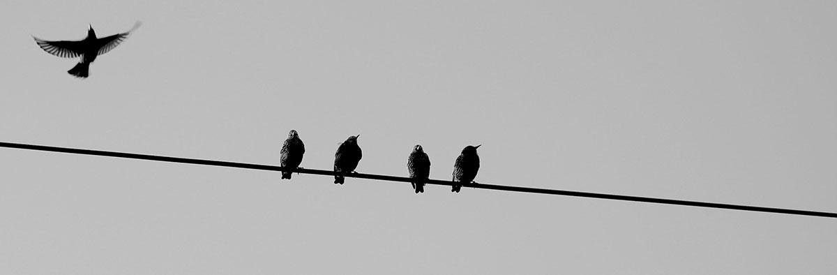 Black_Swans2.jpg