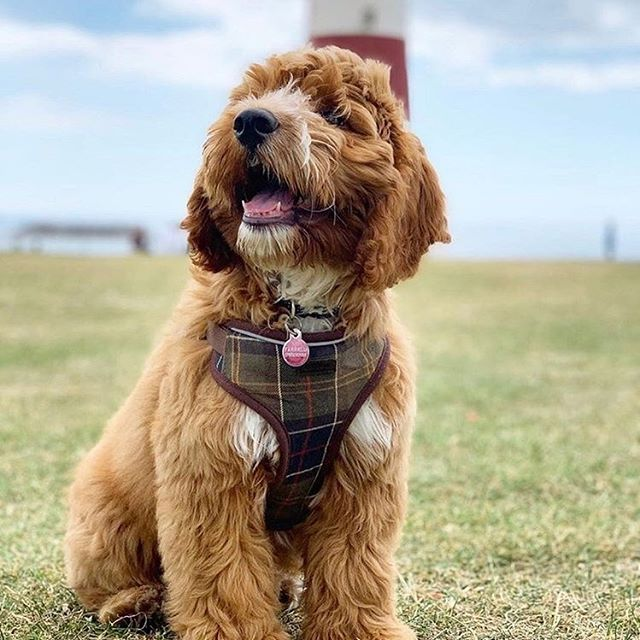 @stanleythecockapooo is our newest #dogbassador 😅😱💃🏻 He is a Miniature Cockapoo from #Bristol , UK 🇬🇧. He loves being outside — running through fields, exploring forests and paddling in the sea. His family are always moving around the South West and he loves nothing more than finding new dog-friends hangouts! ♥️🐾 🍕🍕 #dogfriendlybristol #travel dogfriendlypub #dogfriendlylondon #dogfriendlyhotel #londonpub #dogfriendlyitaly #pub #london #dogfriendlyrestaurant #dogfriendlycafe #dachshund #chihuahua #terrier #viajarconperromola #bulldog
