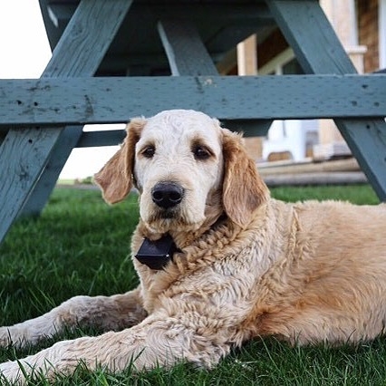 Have you ever wondered how is to live in a farm? Well, ask no more, meet Betty @richardson_doodles our newest #dogbassador who lives in #Alberta #Canada 🥰 we love Canada, unfortunately we are still not there. Apart from being cute her main passions are playing with his furred siblings and chilling under the sun. 🐷🐮🦁🦊🐶 #dogfriendlybristol #travel dogfriendlypub #dogfriendlylondon #dogfriendlyhotel #londonpub #dogfriendlyitaly #pub #london #dogfriendlyrestaurant #dogfriendlycafe #dachshund #chihuahua #terrier #viajarconperromola #bulldog