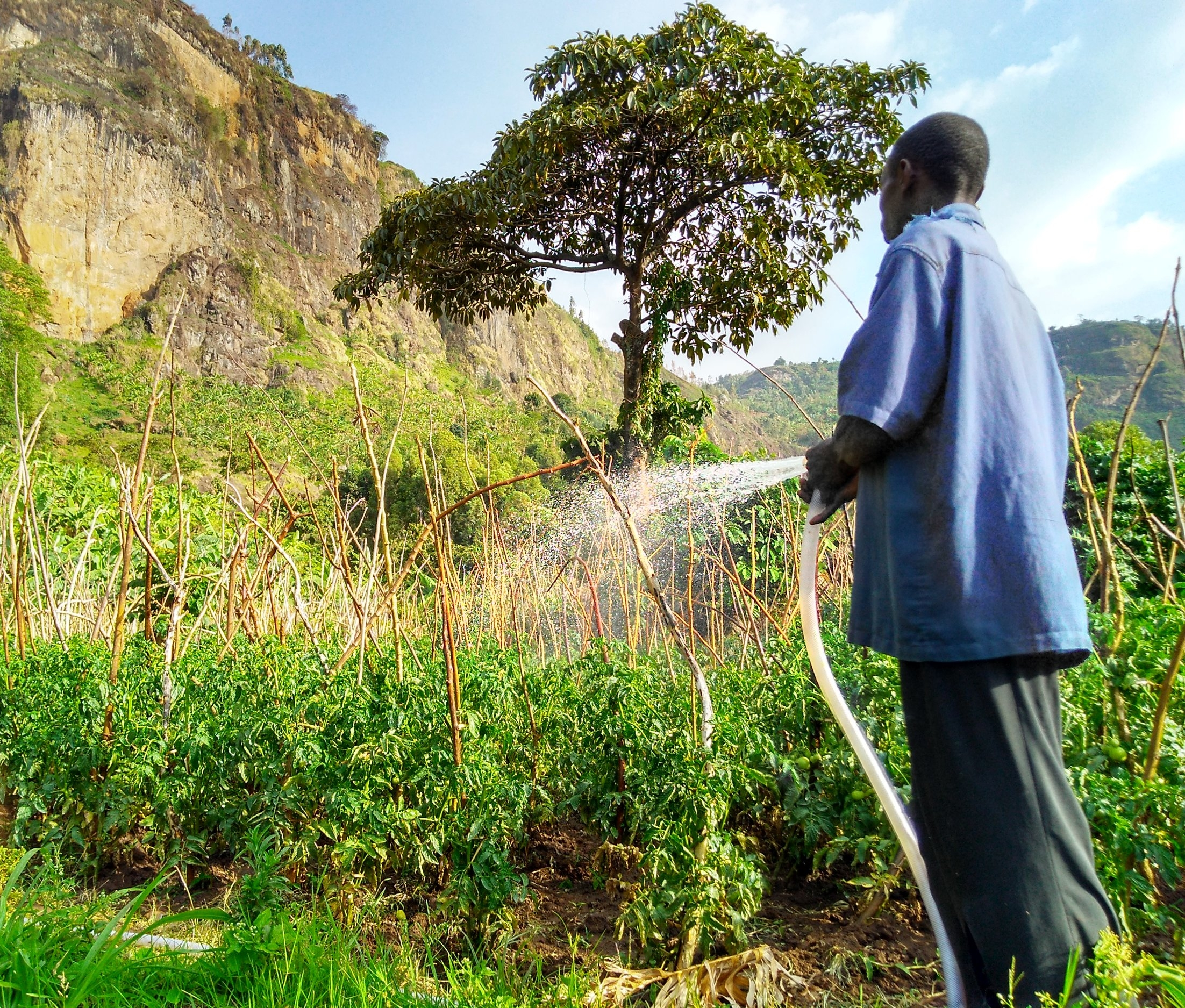 Gravity-fed irrigation   A Lwasso farmer irrigates his tomato garden using the gridded drag hose system, which is pressurized by the rock head tank positioned uphill from the plots at the base of a cliff and waterfall.
