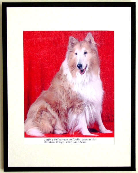 southland collie rescue-adopt collies southern california14.jpg