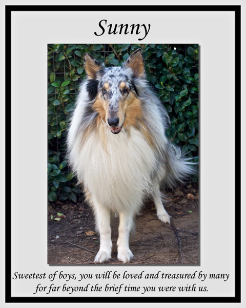 southland collie rescue-adopt collies southern california15.jpg