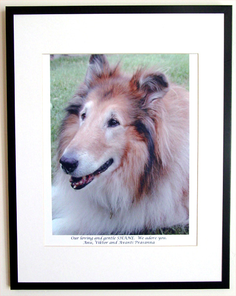 southland collie rescue-adopt collies southern california19.jpg
