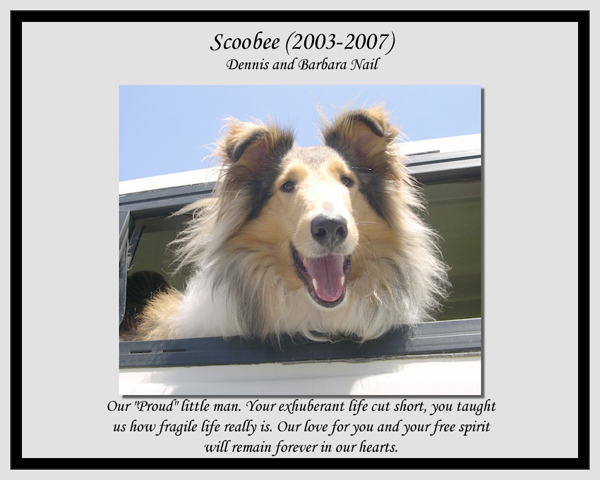 southland collie rescue-adopt collies southern california21.jpg