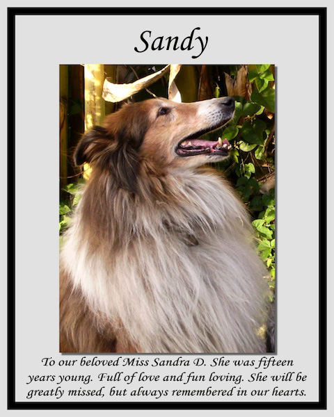 southland collie rescue-adopt collies southern california23.jpg