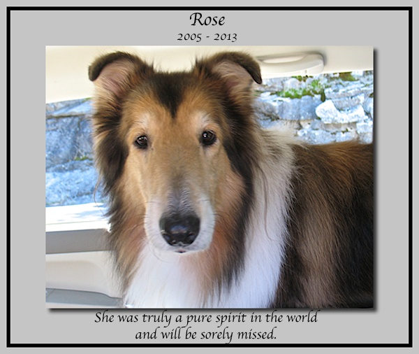 southland collie rescue-adopt collies southern california26.jpg