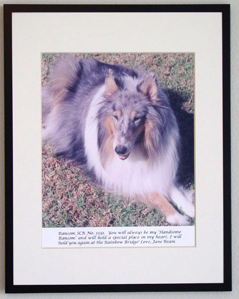 southland collie rescue-adopt collies southern california28.jpg