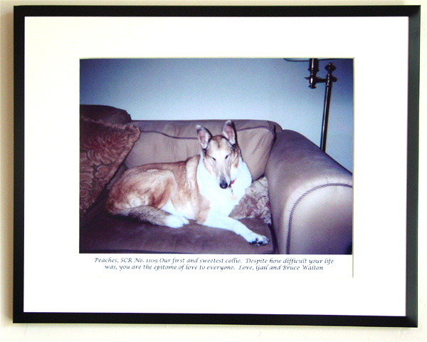 southland collie rescue-adopt collies southern california29.jpg