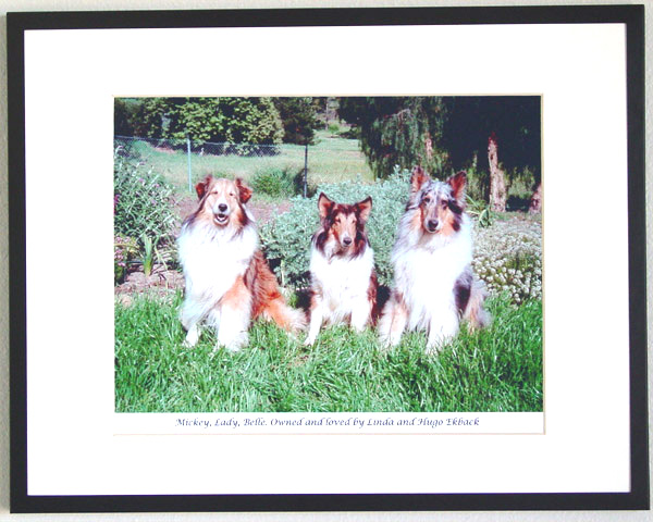 southland collie rescue-adopt collies southern california40.jpg