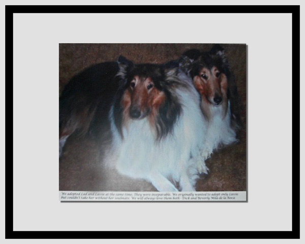 southland collie rescue-adopt collies southern california45.jpg