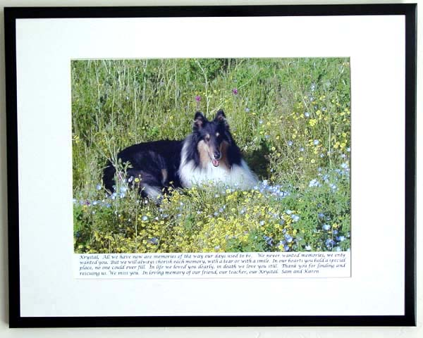 southland collie rescue-adopt collies southern california46.jpg