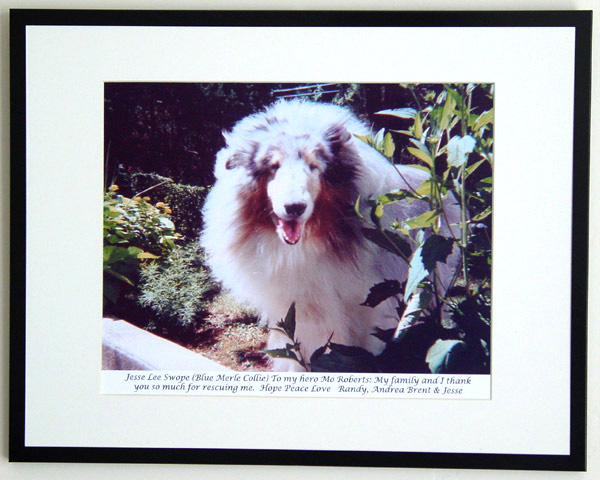 southland collie rescue-adopt collies southern california51.jpg