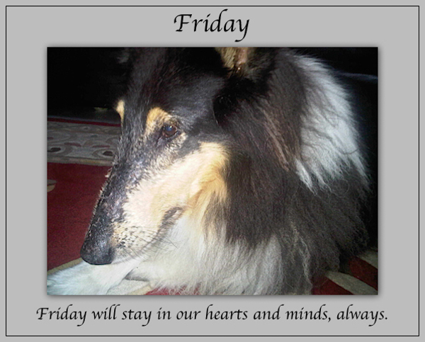southland collie rescue-adopt collies southern california57.jpg