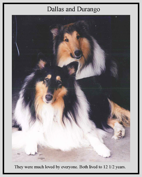 southland collie rescue-adopt collies southern california65.jpg