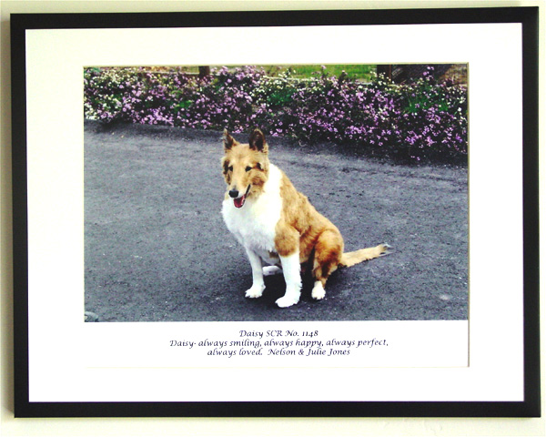 southland collie rescue-adopt collies southern california66.jpg