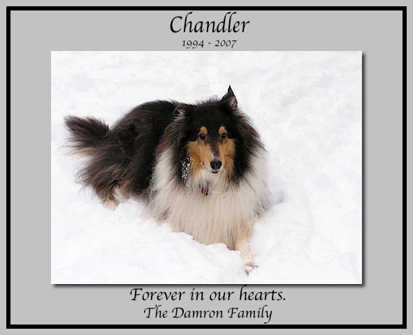 southland collie rescue-adopt collies southern california70.jpg