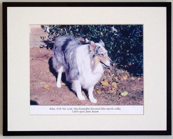 southland collie rescue-adopt collies southern california81.jpg