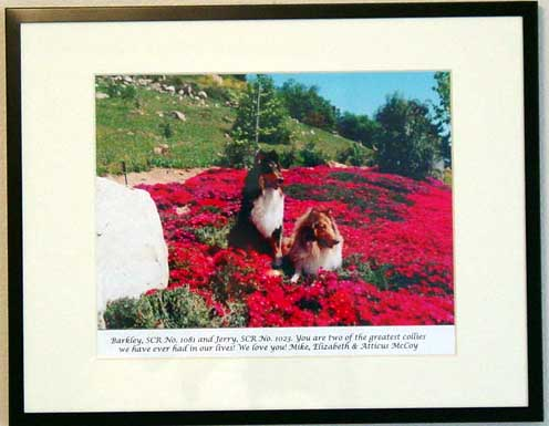 southland collie rescue-adopt collies southern california84.jpg