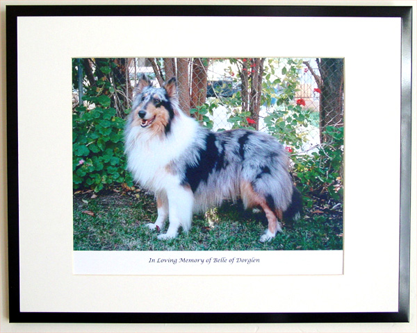southland collie rescue-adopt collies southern california83.jpg