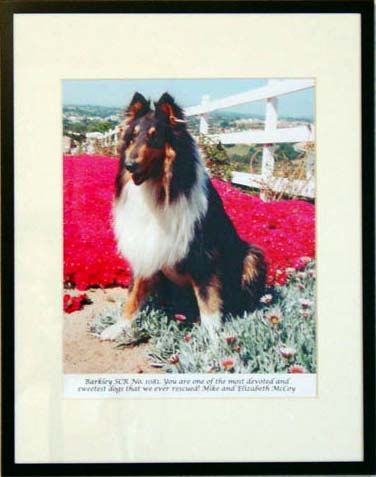 southland collie rescue-adopt collies southern california85.jpg