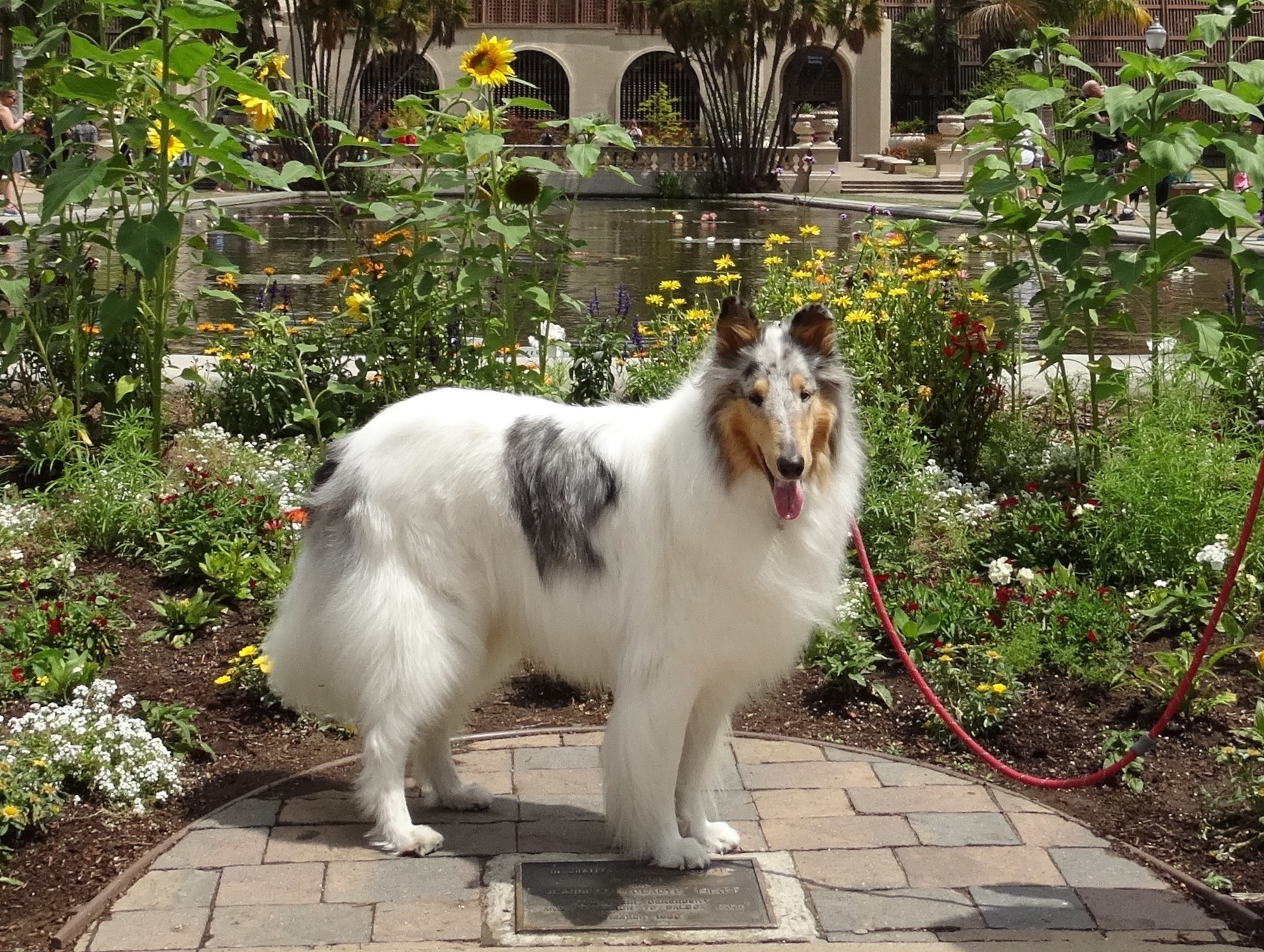 adopt collies socal southland collie rescue.jpg