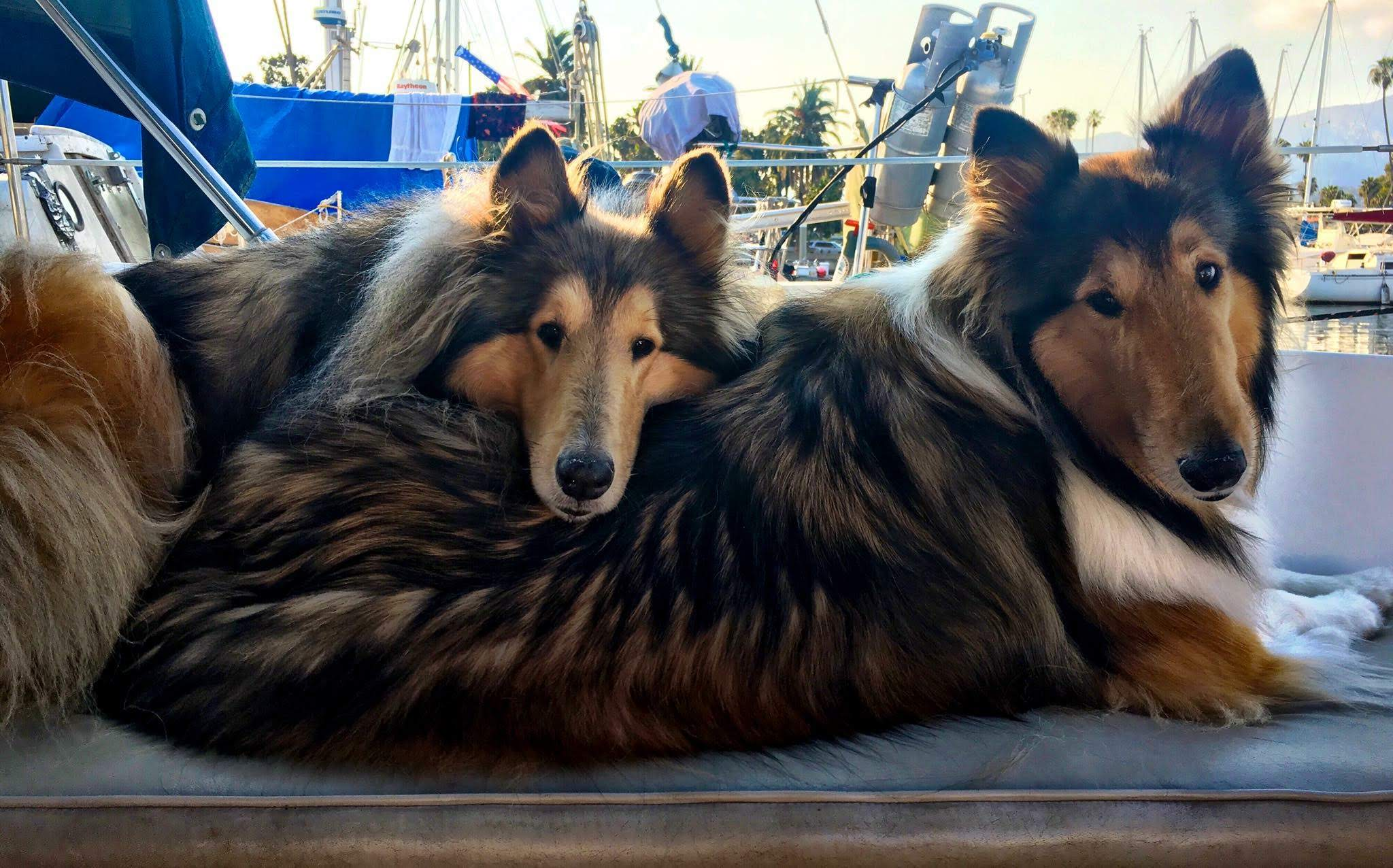 southland collie rescue socal.JPG