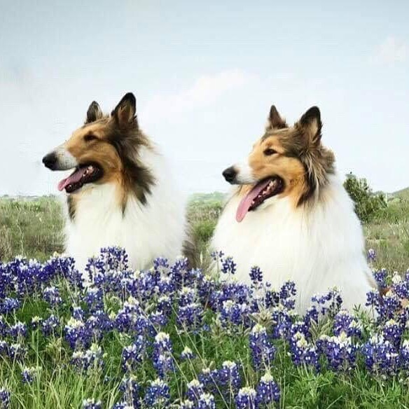 Our new Cover photo for Southland Collie Rescue! A breath of springtime! #colliesofinstagram #collielovers #dogsofinstagram