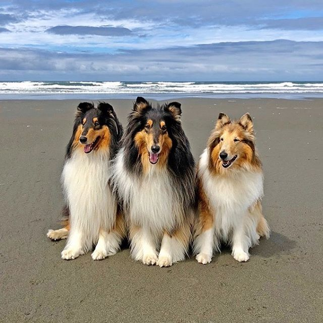 Must be what heaven looks like! Say hi to Cooper, Benny and Cassidy! These beautiful Collies belong to Heidi Webster. 🐾❤️ Thanks for the share Heidi!  #collie #colliesofinstagram #dogsofinstagram #roughcollielife #roughcollie #petsofinstagram