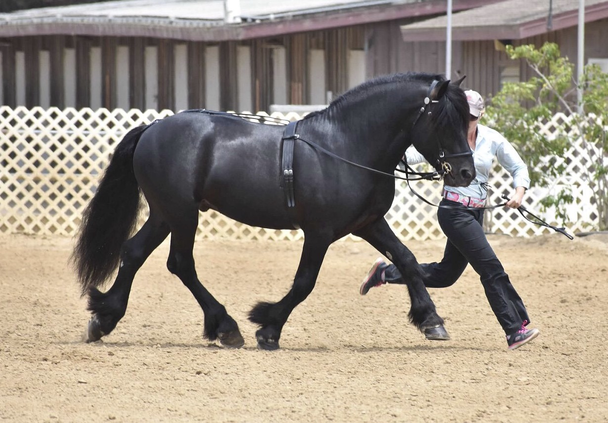 2009 licensed stallion  Davidsons Black Shaman  shown by owner Adrienne Grasso